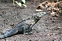Iguana, Isla Iguana Wildlife Refuge, Azuero peninsula, Panama