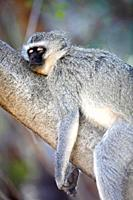 Vervet Monkey, Chlorocebus pygerythrus, lying on tree, Pilanesberg Game Reserve, South Africa