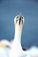portrait of a Northern Gannet, Sula bassana, Heligoland, Germany