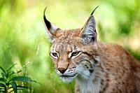 portrait of an Eurasian Lynx, Lynx lynx, Finland
