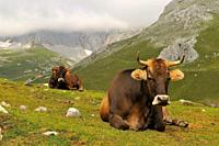 Cows. Picos de Europa National Park. Asturias. Spain