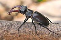Stag beetle, male. Lucanus cervus. Picos de Europa National Park. Asturias. Spain