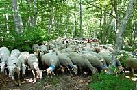 Sheep, transhumance, Esperou, Cevennes, France