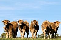 Calves, Aubrac, France
