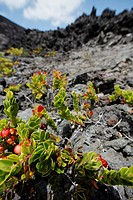 Plants growing out of lava, Kilauea Crater, Kilauea Iki Trail, Hawaii Volcanoes National Park, Hawaii, USA