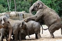 Stock photo of Elephants mating at La Palmyre zoo in France
