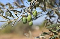 Olives, Ibiza, Balearic Islands, Spain