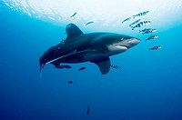 Oceanic White tip shark at Elphinstone reef in Red Sea, Egypt, accompanied by pilot fish  The pilot fish benefit by eating scraps of the shark´s food ...