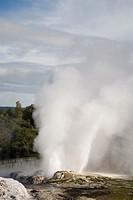 Rotorua North Island New Zealand  Pohutu geyser erupting steaming water in Te Puia in Whakarewarewa Thermal Reserve in geothermal valley