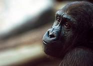 Melancholy Silverback Gorilla