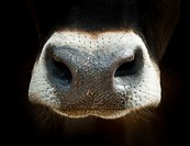 Cow nose