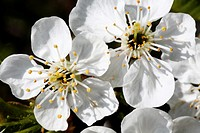 Two fresh apple blossoms on a twig  Close-up  Macro  Open  Blossom with detailed stamens  White  Small cluster against dark background