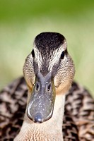 Face of a black duck.