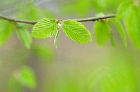 Common hornbeam Carpinus betulus branch with fresh leaves in spring  Bavaria, Germany, Europe