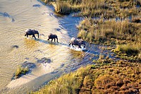 African Elephants Loxodonta africana, crossing the river Aerial View of the Okavango Delta, Botswana