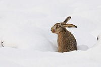 European brown hare (Lepus europaeus) in winter, Germany, Europe