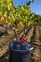 A freshly picked bucket of grapes in a vineyard in the Priorat wine region of Catalonia, Spain