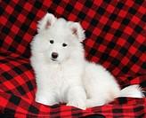 Samoyed: type of breed