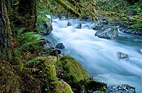 This beautiful nature image is a Pacific Northwest forest with a river running through over rocks with lots of moss hanging from trees and undergrowth...