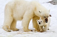 Mother polar bear Ursus maritimus with COY cub-of-year in Holmabukta on the northwest coast of Spitsbergen in the Svalbard Archipelago, Norway  MORE I...