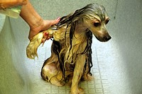 Chinese crested dog Powder Puff being washed before hair trimming during visit in a dog beauty parlour