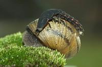 Glow-worm Lampyris noctiluca attacking a Garden snail Helix aspersa