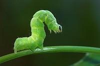 Cabbage Moth caterpillar Autographa gamma
