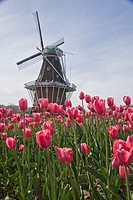 Annual Tulip Festival in Holland, Michigan