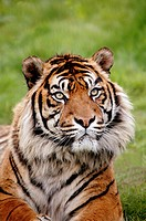 SUMATRAN TIGER panthera tigris sumatrae, PORTRAIT OF ADULT