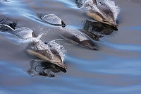 Common Dolphins surfing in the wake in smooth, glassy water
