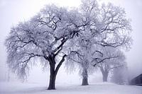 Oak trees in the fog in Tehachapi, Bear Valley Springs, California
