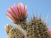 Hedgehog cactus Echinocereus  in bloom with pink flowers, Tucson, Arizona, USA