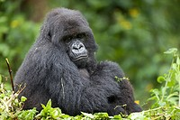 Mountain Gorilla, Gorilla beringei beringei, female sitting in vegetation, Volcanoes National Park, Rwanda