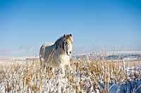 Welsh mountain pony stands on snow covered field, Brecon Beacons national park, Wales