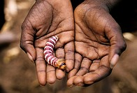 Hands holding an example of aboriginal bush tucker in the form of a witchety grub