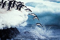 ADELIE PENGUIN pygoscelis adeliae, COLONY ON PAULET ISLAND, GROUP LEAPING INTO OCEAN, ANTARTICA