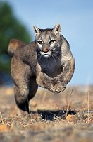 COUGAR puma concolor, ADULT RUNNING, MONTANA