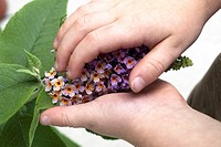 A child´s hands holding a bicolor Butterfly Bush panicle