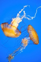 Two Jellyfish swimming at the Akron Zoo