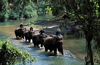 ELEPHANTS, MAE PING RIVER, CHIANG MAI REGION, THAILAND.