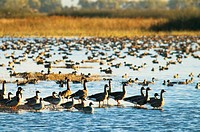 Ducks and geese on pond, Sacramento National Wildlife Refuge, CA