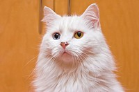 A portrait of a bi-colored eye blue and yellow medium long haired white cat, like a Persian or RaggaMuffin breed