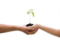 A young new plant growing from palm in two hands, isolated