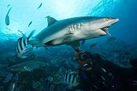 Grey Reef Shark at Shark Feeding, Carcharhinus amblyrhynchos, Beqa Lagoon, Viti Levu, Fiji