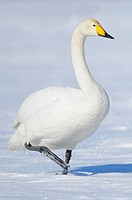 Whooper Swan (Cygnus cygnus), Lake Tysslingen, Sweden
