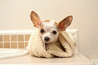 A white chihuahua wrapped in a towel after her bath