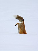 A red fox dives under the snow to catch its prey in a technique called ´mousing´ at Yellowstone National Park, Wyoming