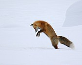 A red fox dives under the snow to catch its prey in a technique called ´mousing´ at Yellowstone National Park