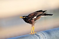 Common myna or Indian Myna Acridotheres tristis  This bird is native to southern Asia from Afghanistan to Sri Lanka  The Myna has been introduced in m...