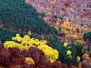 Laderas de bosque mixto en otoño, en el valle del Monasterio de Valvanera - Anguiano - Sierra de la Demanda - Sistema Ibérico - La Rioja - España